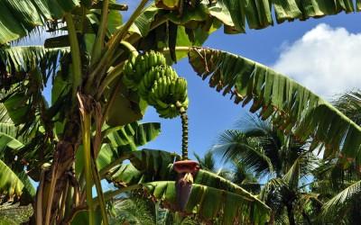 Bananas growing in a garden, Funafuti Atoll, Tuvalu