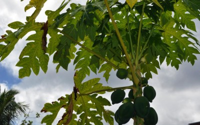 Papayas growing in someone's front garden, Funafuti Atoll, Tuvalu