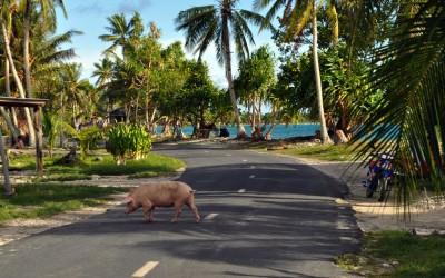 Free range pork, Funafuti Atoll, Tuvalu