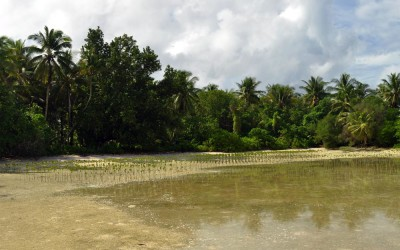 Mangroves planted on Funafala Island (climate change adaptation project), Tuvalu